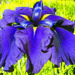 large royal purple blue Japanese Iris