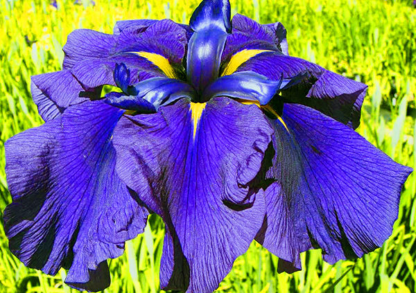 Tips-for-Growing-Japanese-Iris