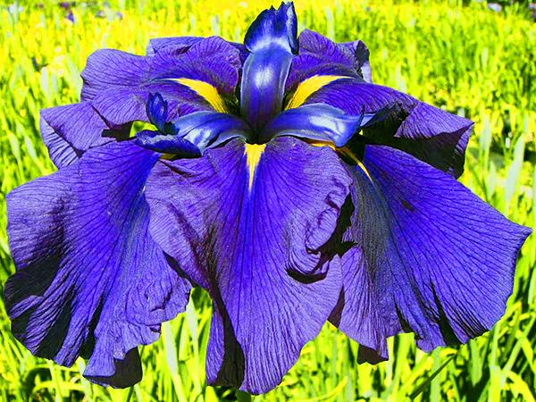 large royal purple blue Japanese Iris