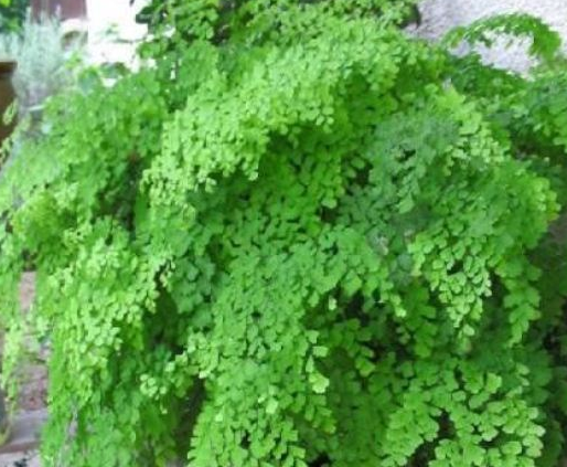 Tips-on-How-to-Grow-Maidenhair-Fern