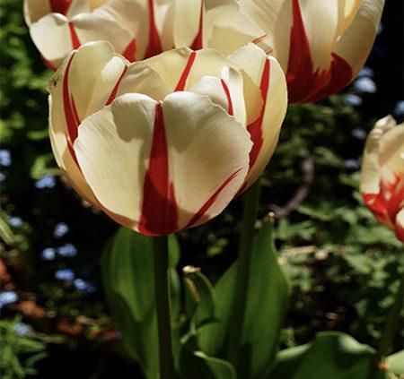 Tiptoe-through-the-tulips
