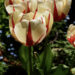 Tulips Care How To Grow