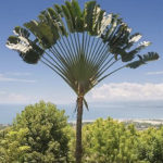 Travellers-Palm-Ravenala-Madagascariensis-Information-and-Plant-Facts