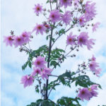 Tree-dahlia-tall-and-elegant