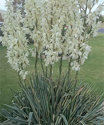 Variegated-yucca-in-bloom