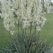 Yucca Care Cultivation Methods