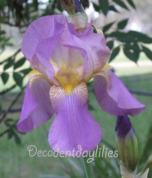 Vintage Tall Bearded Iris