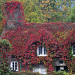 Virginia-Creeper-colourful-rapid-climber-cold-hardy (1)