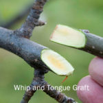 picture of whip and tongue graft