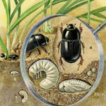 White-Curl-Grubs-Cockchafers-Christmas-Beetles-Curl-Grub-Beetle