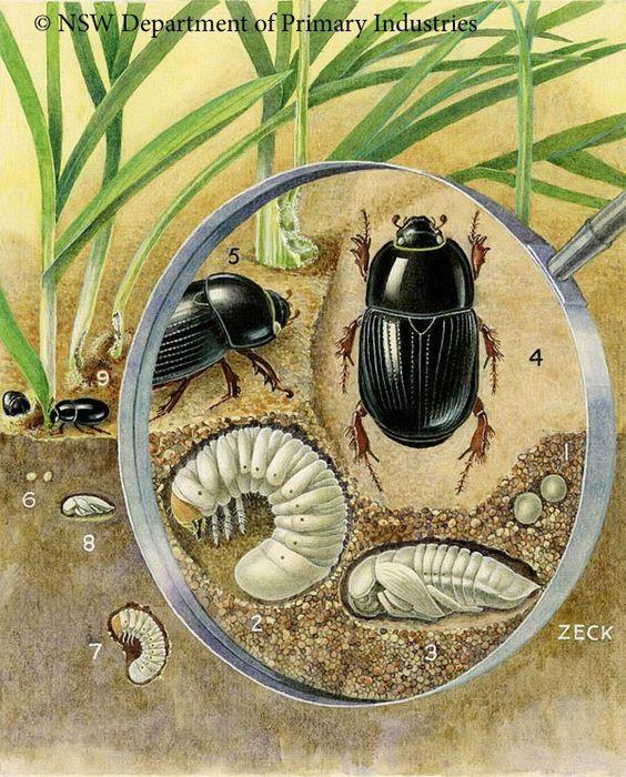 White-Curl-Grubs-Cockchafers-Christmas-Beetles-Curl-Grub-Beetle