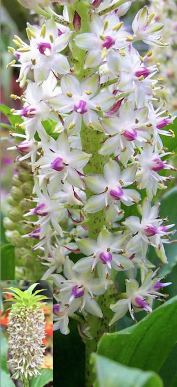 White Purple flowered Burgundy Pineapple Lily