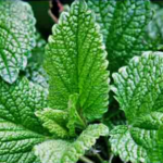 growing mint plant herb