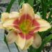 Polymerous or Polytepals Daylilies
