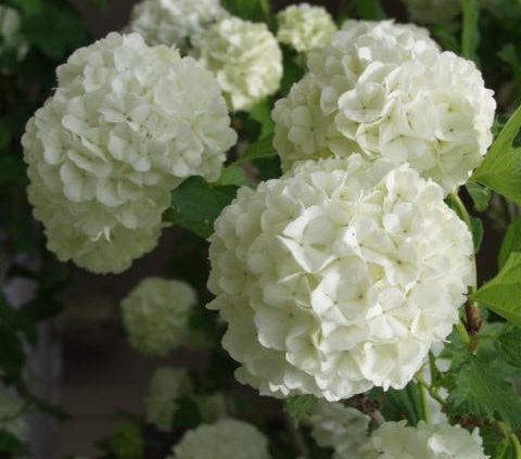 snowball-bush-viburnum-flower-Viburnum-opulus-'Roseum'