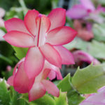 zygocactus-christmas-cactus-and-Crabs-claw-cactus