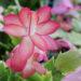 Zygocactus Winter Flowering Houseplants