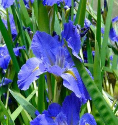 zzz-Louisana-Iris-the-Water-Irises2