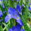 zzz-Louisana-Iris-the-Water-Irises2