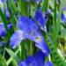 Louisiana Iris Growing Water Irises