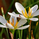 white zephyranthes bulbs