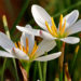 Zephyranthes Bulbs