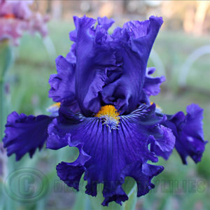 Blue Tall Bearded Iris mustard yellow beards tipped blue