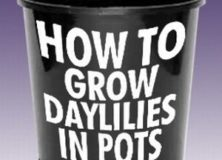 How to Grow Daylilies in Pots