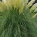 Pampas Grass or Cortaderia Selloana