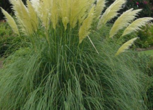 Pampas Grass or Cortaderia Selloana for gardens