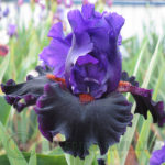 deep purple and black tall bearded iris in my garden