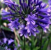 Tall blue agapanthus black stems