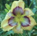 20 Tips for Growing Beautiful Daylilies