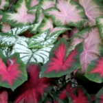 caladium leaves multi colour mix