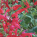 Growing And Caring Tips For Pineapple Sage