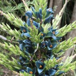 Puya Alpestris Sapphire Tower Giant Bromeliad