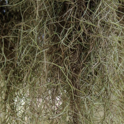 Spanish Moss: What Does It Need To Survive
