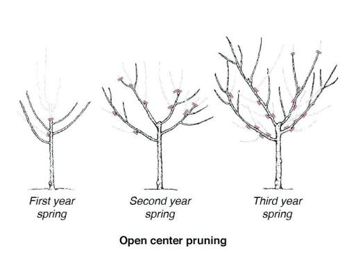 Diagram for pruning a fig tree