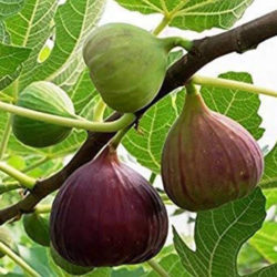 Fig Tree Pruning: How To Grow and Care For A Fig Tree