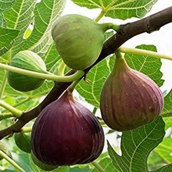 Fig branch and fruit variety brown turkey