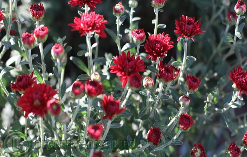 Chrysanthemum Bunningyon Bronze