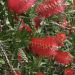 Australian Bottlebrush Best Way Of Growing Them