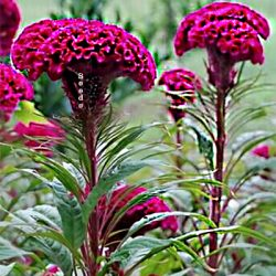 Cockscomb Celosia Cristata How to Grow Roosters Comb
