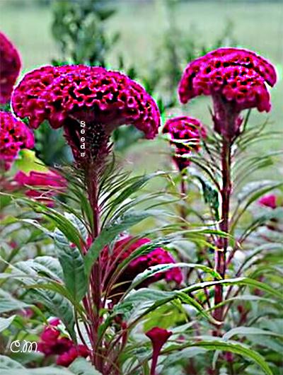Cockscomb Celosia Plant
