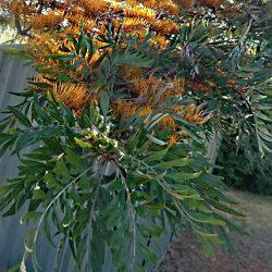 Grevillea robusta Silky Oak Tree for Large Areas
