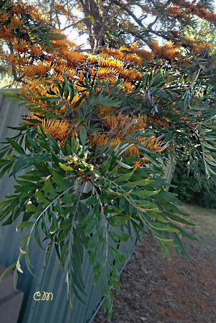 silky oak tree growing over the fence