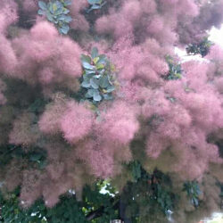 Growing Smoke Bush Tree Dry Conditions