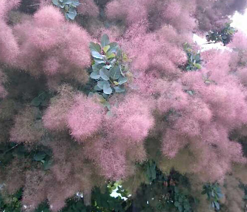 smoke bush tree