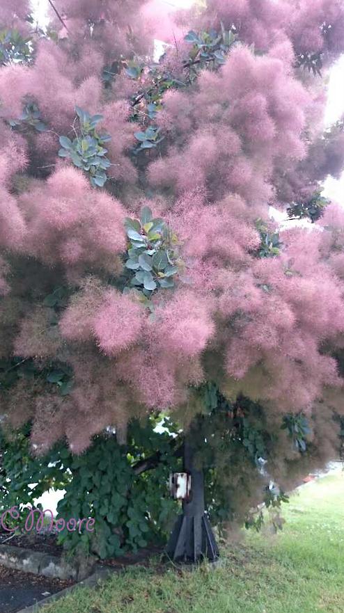 smoke bush tree