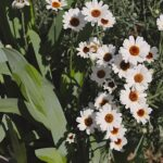 daisies and irises 1